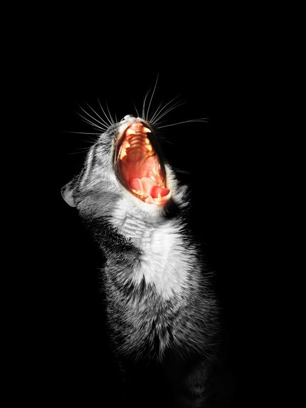 Feline Stomatitis: Therapeutische Herausforderung einer ...