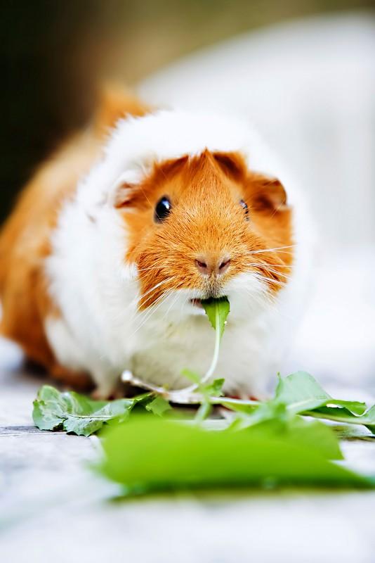 Nachwachsen können meerschweinchen zähne Nagetiere und